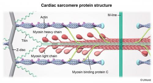 Cardiac sarcomere protein structure