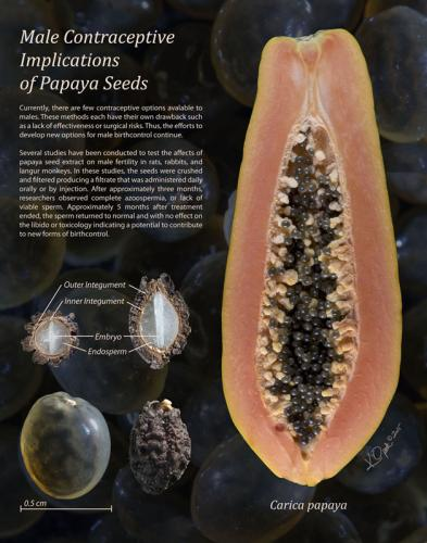 Male Contraceptive Implications of Papaya Seeds