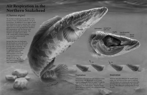 Air Respiration of the Northern Snakehead