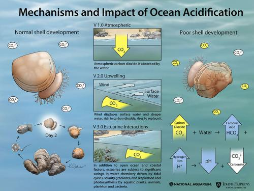 Mechanisms and Impact of Ocean Acidification