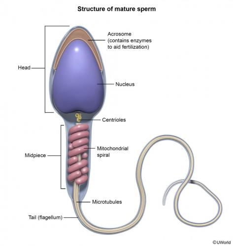 Structure of Mature Sperm